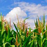 AZOS-B - Promotor de crecimiento de cultivos
